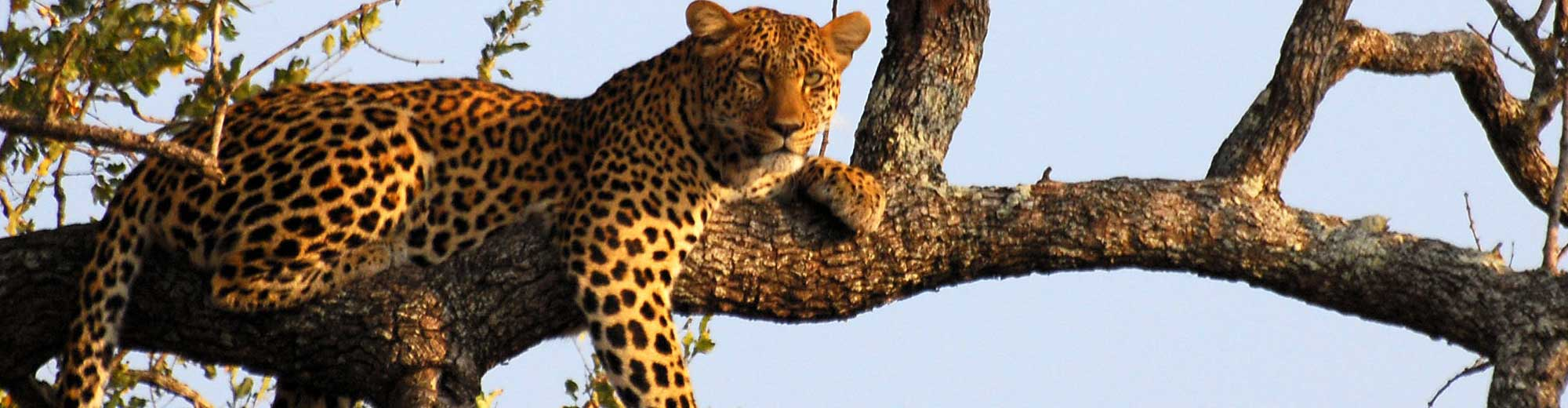 Leopard - one of the big 5